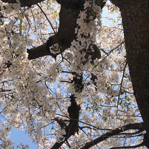 逗子市第一運動公園の桜