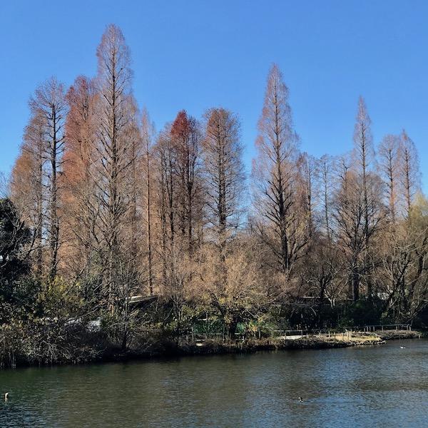 井の頭公園の糸杉