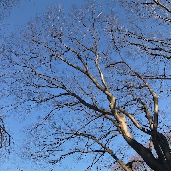 春を待つ桜木