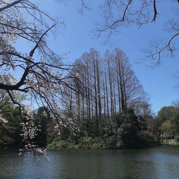 冬の杉の木と開花した枝垂れ桜