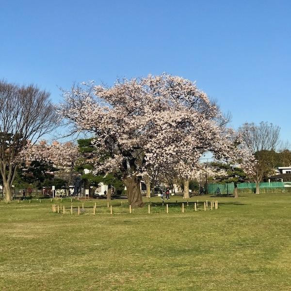 公園の桜、朝