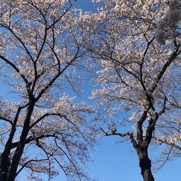 桜木、2本