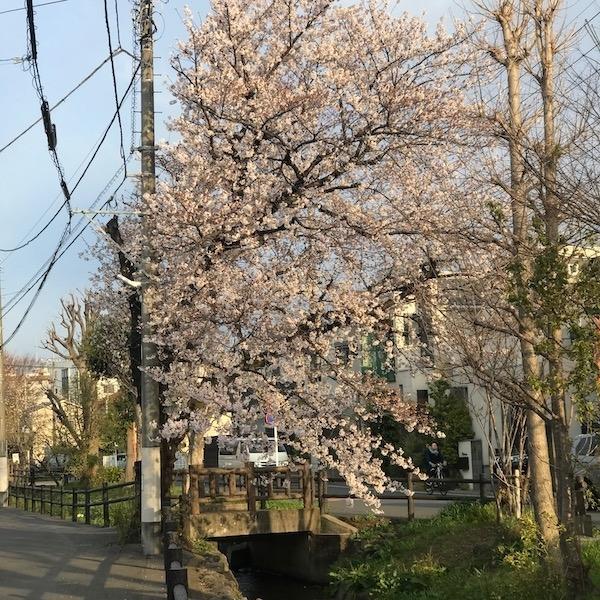 上水沿いの桜