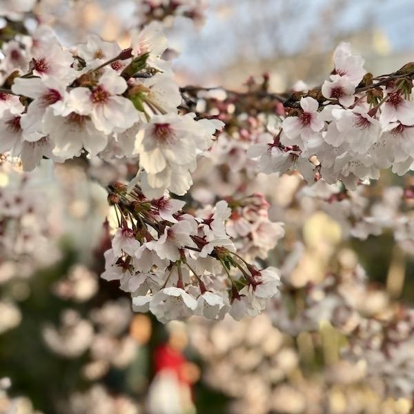 桜 接写 4