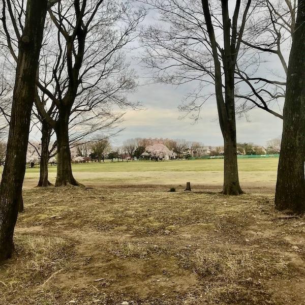 公園の桜、遠景