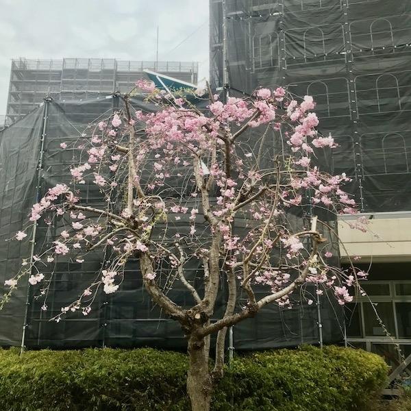 市長が植樹した枝垂れ桜