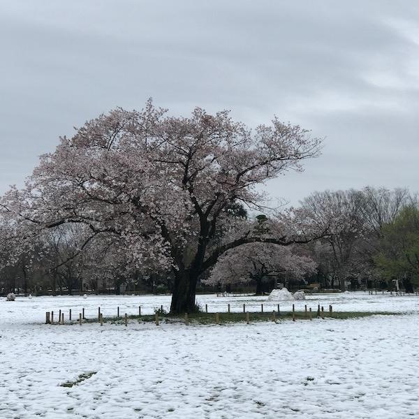 雪の積もった原っぱに立つ桜