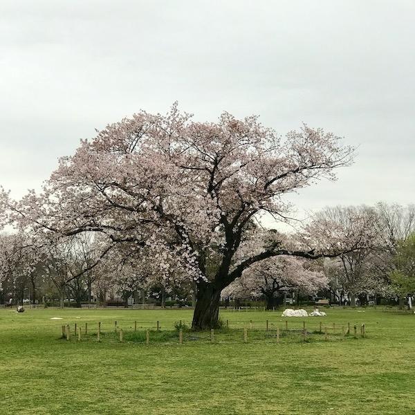 まだ散らない原っぱの桜