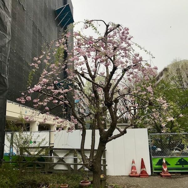 団地の枝垂れ桜