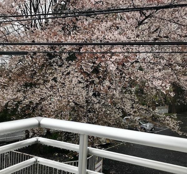 ベランダ越しに見る雨中の桜