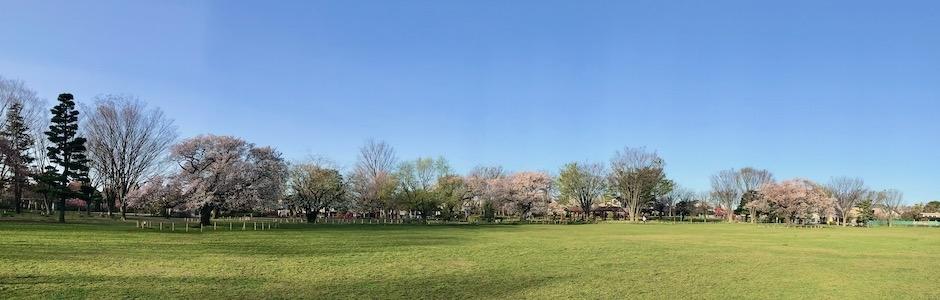 桜咲く公園のパノラマ写真
