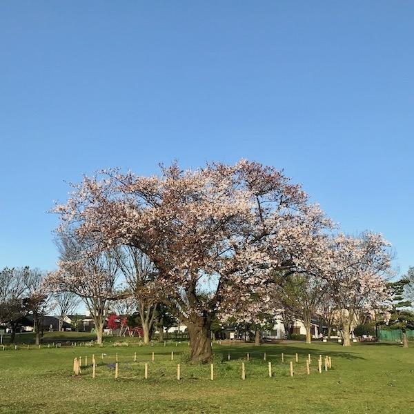 散りはじめた公園の桜