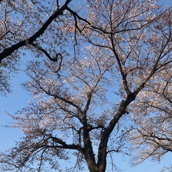 競技場の桜