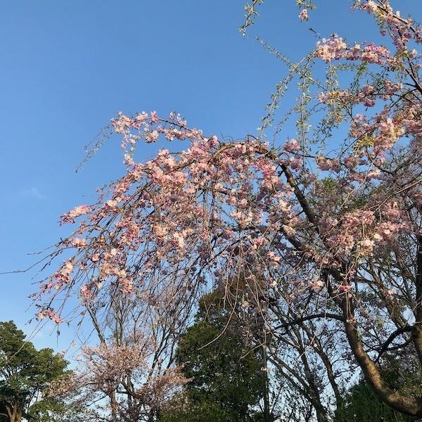 三分咲きの枝垂れ桜