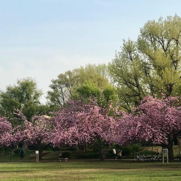 遅咲きの桜、カンザン