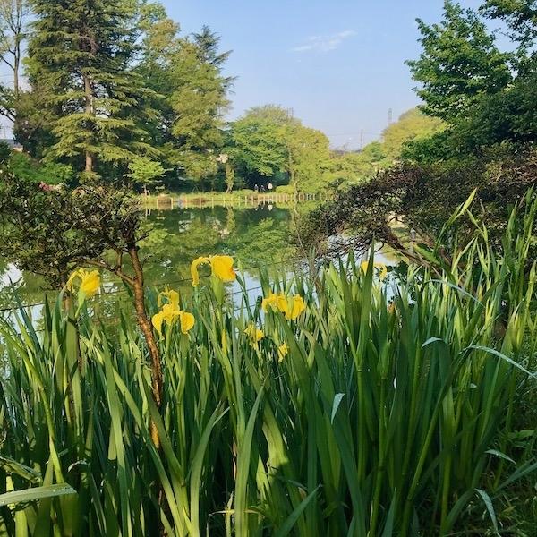 善福寺公園の菖蒲
