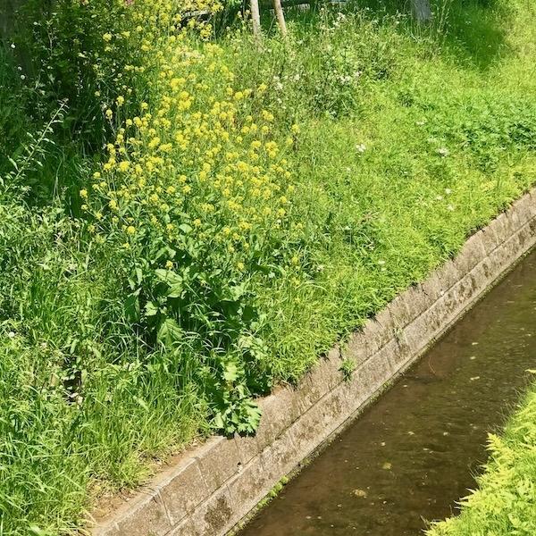 上水沿いの菜の花