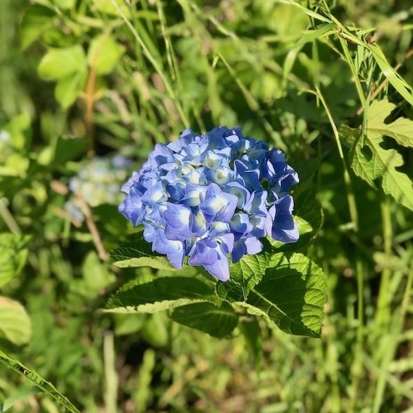 一輪の紫陽花