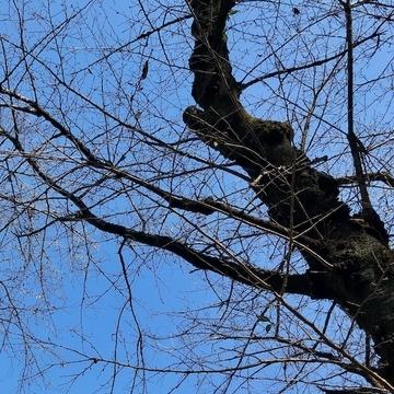井の頭公園の枯れ木