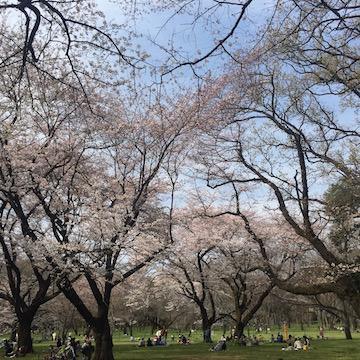 桜咲く小金井公園