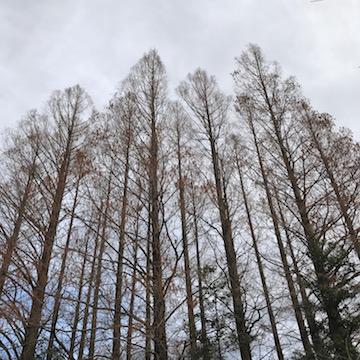 関公園の杉