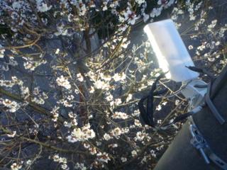 LED防犯灯に照らされた桜、じゃなかった梅。