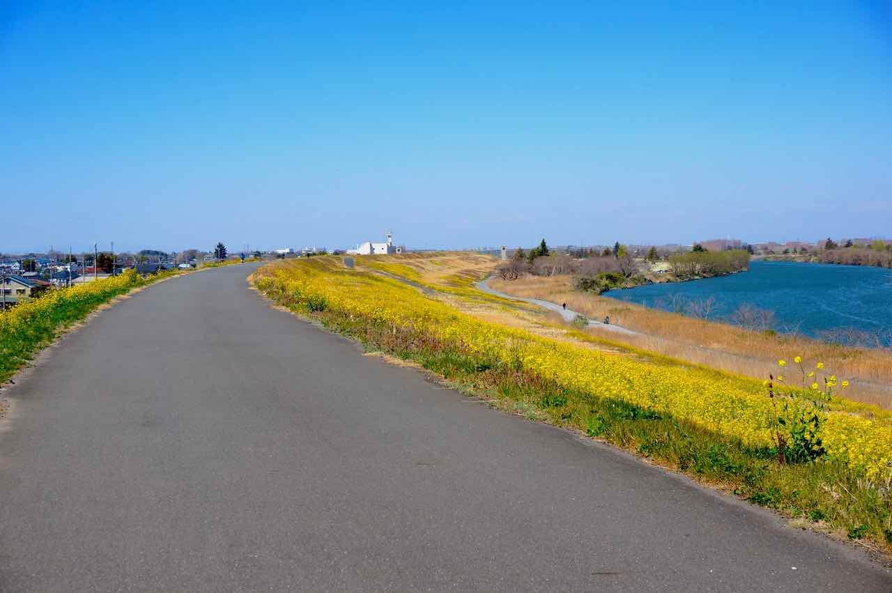 荒川サイクリングロードに菜の花が満開