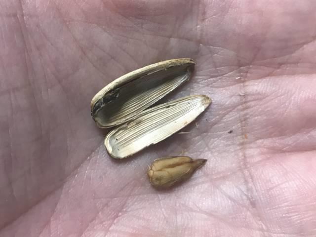 「ひまわりの種(ココナッツ味)」の殻を割ったところ