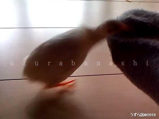 噛みつくヒメウズラ
