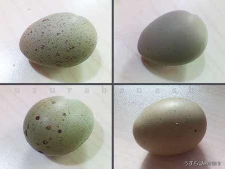 さまざまなヒメウズラの卵
