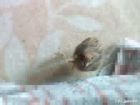 膝の下から見上げるヒメウズラ