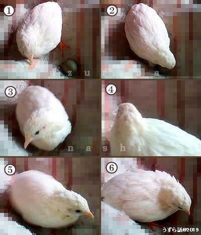 卵を抱くヒメウズラ