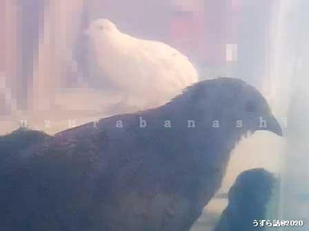 二羽のヒメウズラ