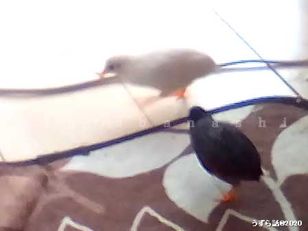 ミルワームを取り合うヒメウズラ