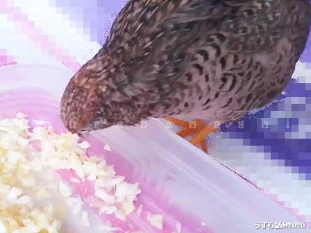 キャベツを食べるヒメウズラ