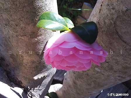 ピンクの椿の椿の花