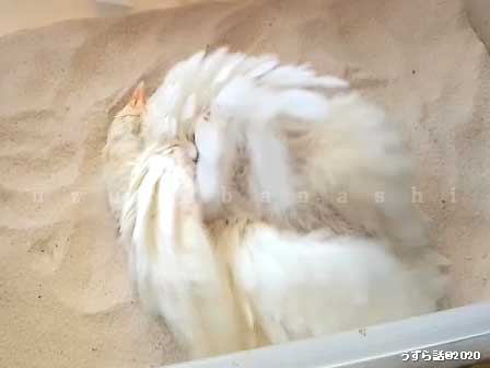 砂浴びするヒメウズラ