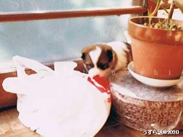 ビニール袋で遊ぶ子犬