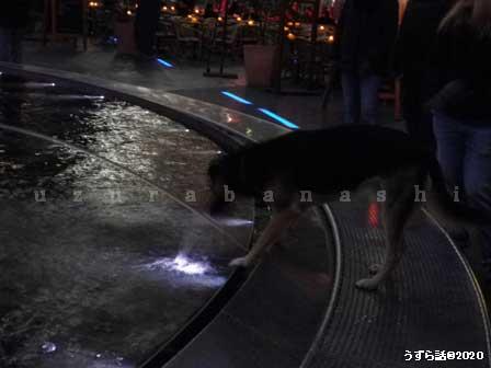 噴水に夢中の犬