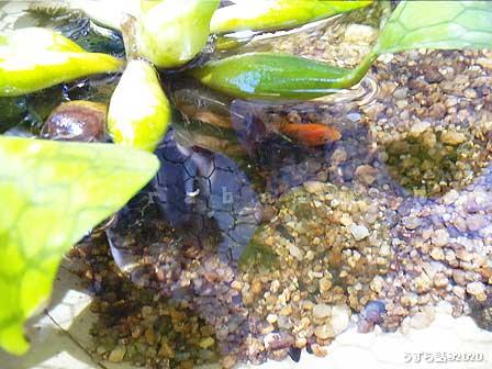 ホテイ草に隠れる金魚