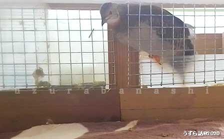 ケージから脱走するノーマル柄のヒメウズラ