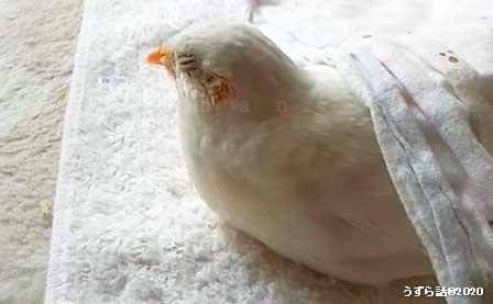 白いヒメウズラ