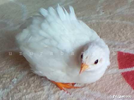 白い♀ヒメウズラ