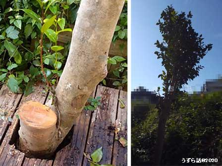 椿の大木の剪定