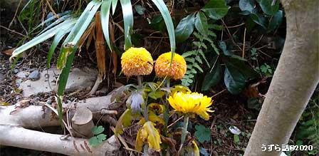 ピンポンマムと菊