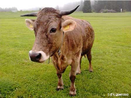 ドイツのアルゴイ牛
