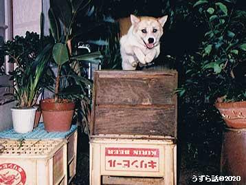 障害物ジャンプする犬