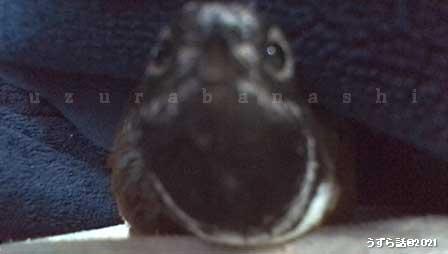 ヒメウズラの顔