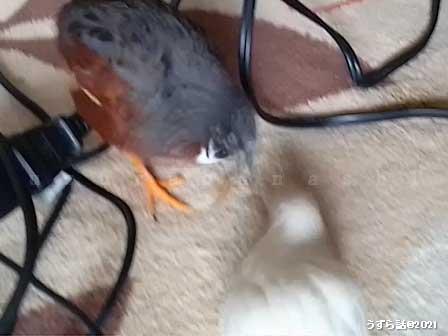 レッドブレストのヒメウズラ