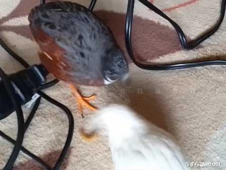 レッドブレストと白いヒメウズラ